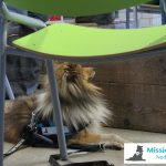 One of MissionPuppy's assistance Shelties at work