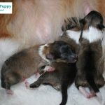 New born Sheltie puppies for MissionPuppy Nederland
