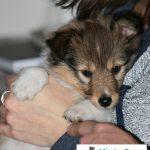Sheltie female puppy bred for MissionPuppy Nederland
