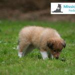 Sheltie puppy bred for MissionPuppy Nederland