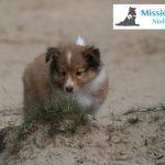 7 week old sheltie puppy bred for MissionPuppy Nederland