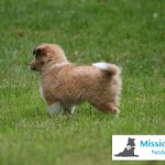 Young male Sheltie puppy in training for MissionPuppy