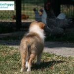 Sheltie female puppy in training for MissionPuppy Nederland