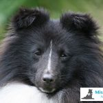 One of MissionPuppy's young shelties